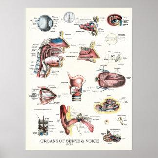 Póster Órganos del poster 18 x 24 de la anatomía del