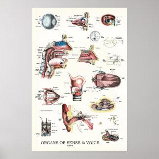 Póster Órganos del poster 24 x 36 de la anatomía del