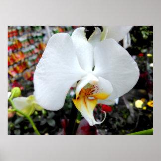 Póster Orquídea blanca hermosa del Phalaenopsis