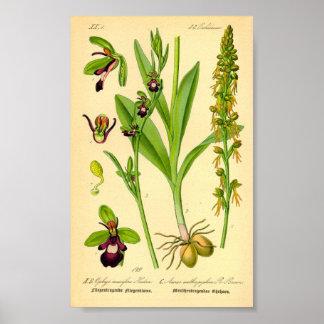 Póster Orquídea de mosca (insectifera del Ophrys)