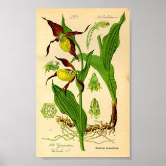 Póster Orquídea del deslizador de señora (calceolus del