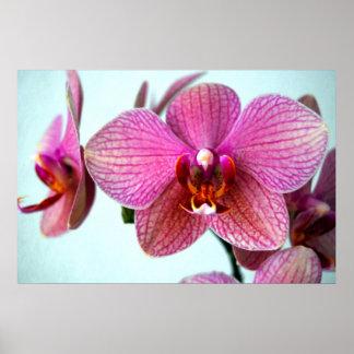 Póster Orquídeas rosadas