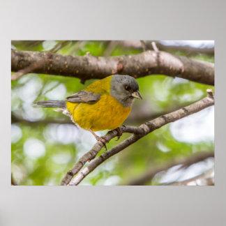Póster Pájaro amarillo