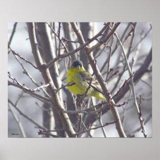 Poster - pájaro amarillo en ramas póster
