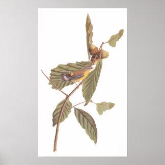 Póster Pájaro de la curruca de la magnolia de Audubon del