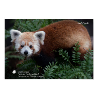 Póster Panda roja de Smithsonian el  