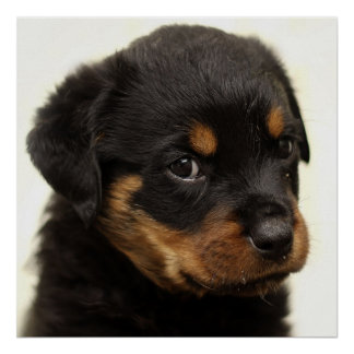 Póster Perrito lindo del rottweiler