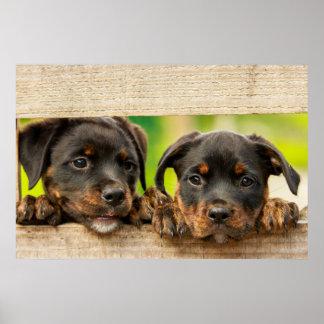 Póster Perritos lindos del rottweiler que miran a