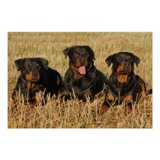 Póster Perros de Rottweiler