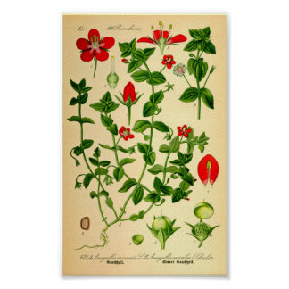 Póster Pimpernel de escarlata (caerulea del Anagallis)