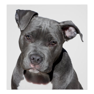 Póster Pitbull Terrier americano