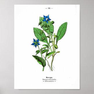 Póster Poster botánico del vintage - borraja