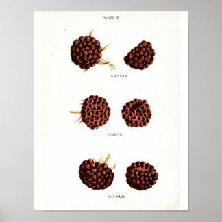 Póster Poster botánico del vintage - frambuesa