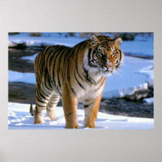 Póster Poster cariñoso del tigre de la nieve