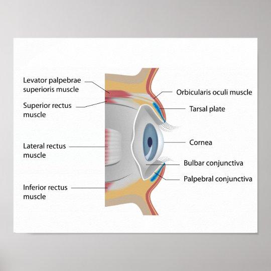 Póster Poster de la anatomía de la conjuntiva del ojo   Zazzle.es