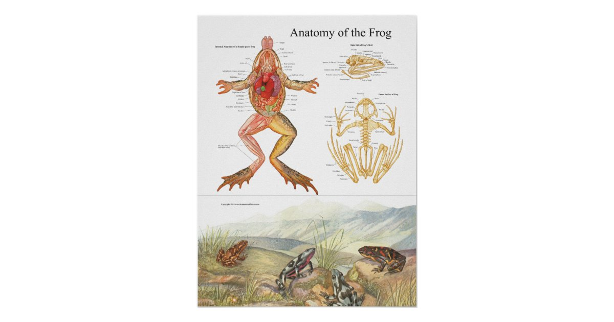 Póster Poster de la anatomía de la rana del vintage | Zazzle.es