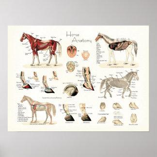 Póster Poster de la anatomía del caballo
