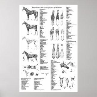 Póster Poster de la anatomía del caballo esquelético y
