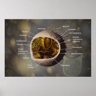 Póster Poster de la célula humana