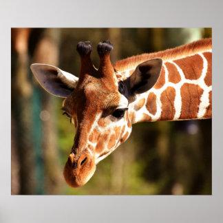 Póster Poster de la jirafa - animales del parque