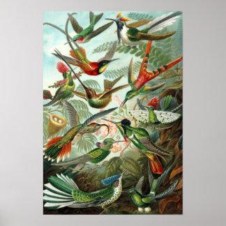 Póster Poster de los colibríes de Haeckel