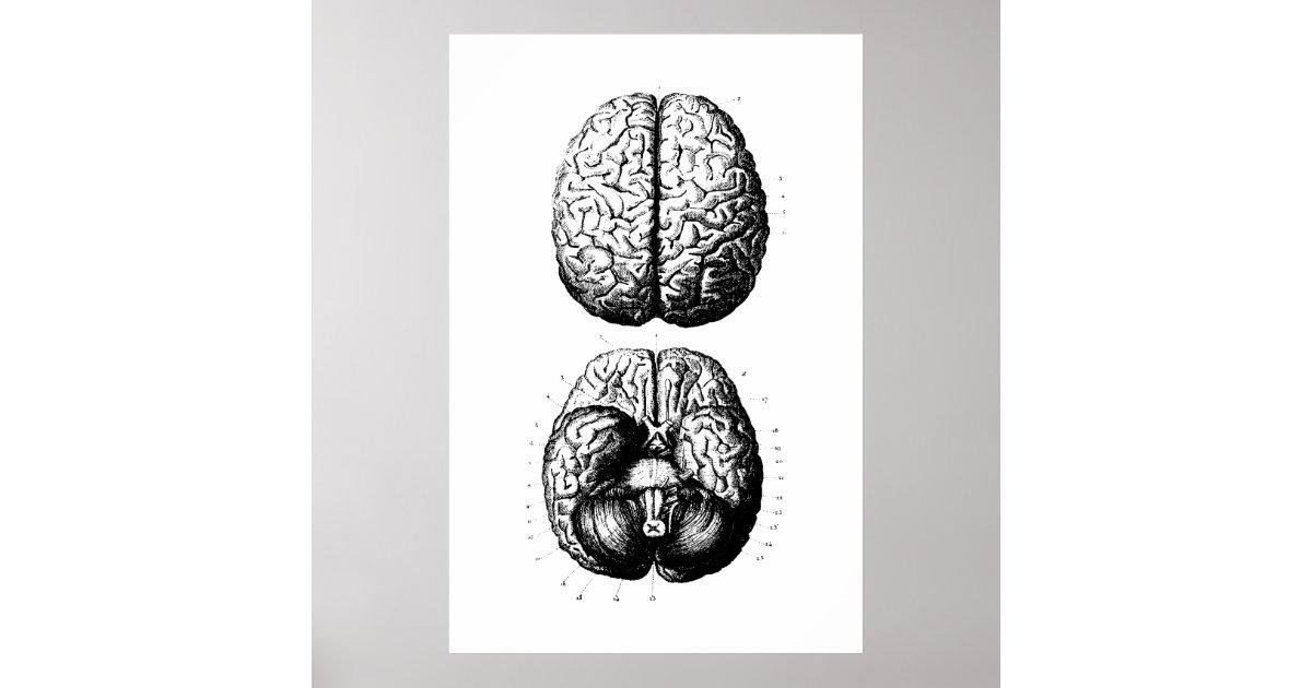 Póster Poster del ejemplo de la anatomía del cerebro   Zazzle.es