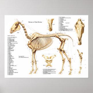 Póster Poster del esqueleto de la anatomía del caballo