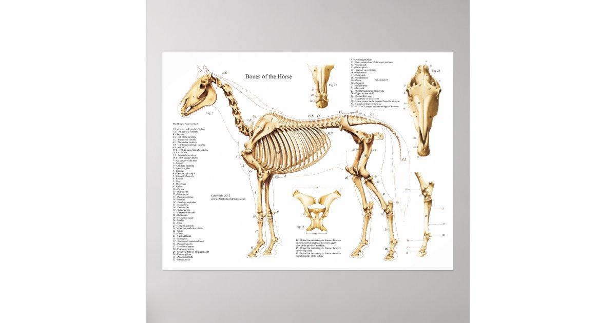 Póster Poster del esqueleto de la anatomía del caballo | Zazzle.es