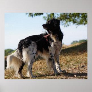 Póster Poster del perro del perro de aguas de Bretaña