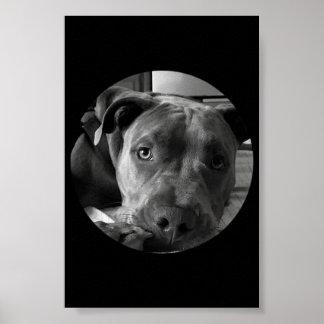 Póster Poster del pitbull