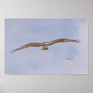 Póster Poster del vuelo del pájaro de Osprey