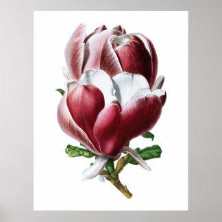 Póster Poster grande de las flores de la magnolia rosada