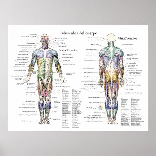Póster Poster humano español de la anatomía del músculo | Zazzle.es