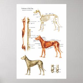 Póster Poster muscular y esquelético del perro de la