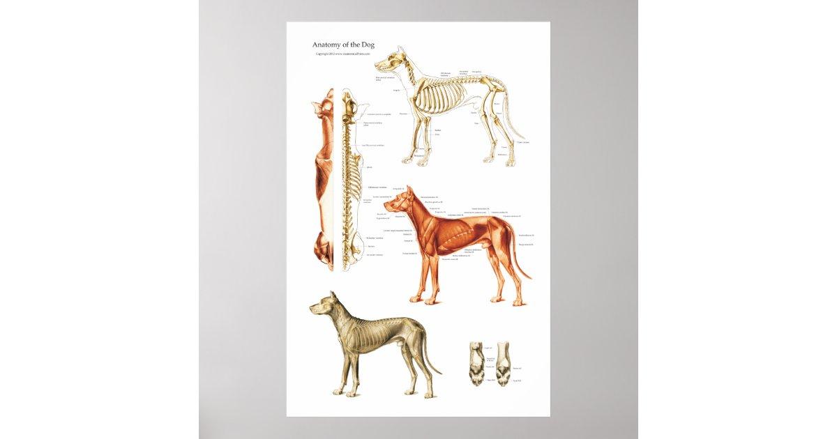 Póster Poster muscular y esquelético del perro de la | Zazzle.es