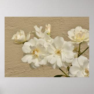 Póster Racimo de rosas blancos