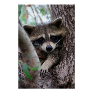 Póster Racoon
