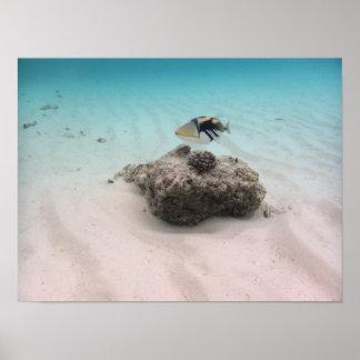 Póster Recuerdo azul colorido del Triggerfish del océano