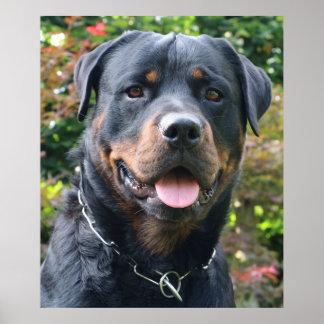 Póster Retrato de Rottweiler