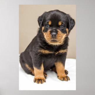 Póster Retrato del perrito de Rottweiler
