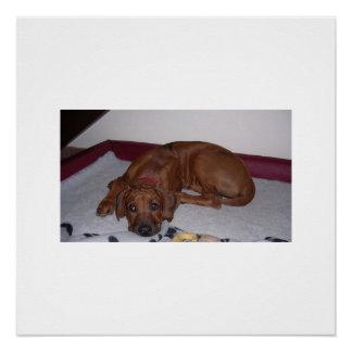 Póster Rhodesian_Ridgeback_puppy