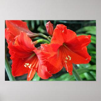 Poster rojo hermoso de la fotografía de la flor póster