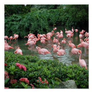 Poster rosado del flamenco póster