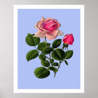 Póster Rosas de té rosado