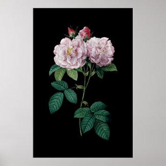 Póster Rosas rosados del poster negro del fondo de