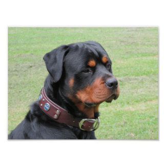 Póster Rottweiler hermoso