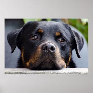 Póster Rottweiler que mira sobre la cerca