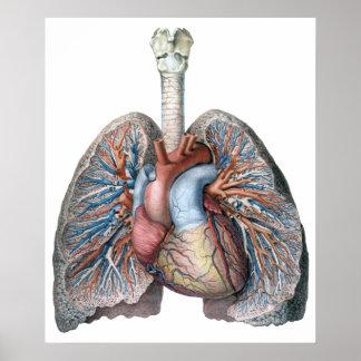 Póster Sangre humana de los órganos del corazón de los