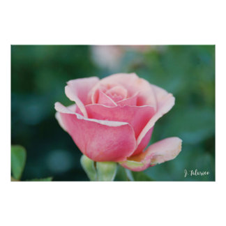 Póster Solo color de rosa rosado