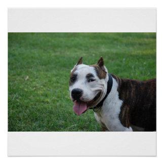 Póster sonrisa americana del terrier de pitbull